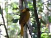 Golden Bowerbird (2)-2960540423-O