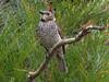 female Regent Bowerbird-2960589412-O