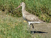 Bar-tailed Godwit-2954069847-O