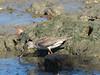 Terek Sandpiper with fish-2954072858-O