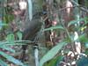 Tooth-billed Catbird-2960534861-O