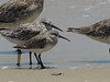 Curlew Sandpiper, Great Knot-2960470797-O