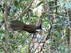 Eastern Whipbird-2960637004-O