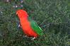 "Australian King Parrot <div id=""caption_tourlink"" align=""right""> [photo © guide Phil Gregory]</font></div>"