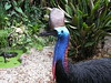 """Southern Cassowary <div id=""""caption_tourlink"""" align=""""right""""> [photo © guide Phil Gregory]</font></div>"""