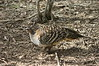 """Malleefowl<div id=""""caption_tourlink"""" align=""""right""""> [photo © guide Phil Gregory]</font></div>"""