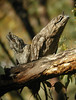 """Tawny Frogmouth <div id=""""caption_tourlink"""" align=""""right""""> [photo © guide Jay VanderGaast]</font></div>"""