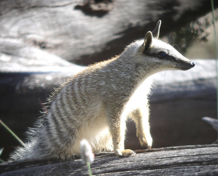 "Numbat <div id=""caption_tourlink"" align=""right""> [photo © guide John Coons]</font></div>"