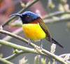 "Green-tailed Sunbird <div id=""caption_tourlink"" align=""right""><br>[photo © guide Rose Ann Rowlett]</div>"