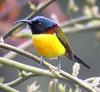 "Green-tailed Sunbird <div id=""caption_tourlink"" align=""right""><br>[photo © guide Rose Ann Rowlett]</div>"