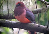 """Indeed, this digiscoped photo is blurry, but you know you would like to see it! Ward's Trogon is a rare species even in the heart of its range (Bhutan), and we have had good, but not perfect, success at finding it in the high-elevation broadleaf forests. <div id=""""caption_tourlink"""" align=""""right""""><br>[photo © guide Richard Webster]</div>"""