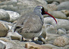 """Another specialty is a shorebird, the Ibisbill, that is a monotypic family. It breeds along Bhutan's braided rivers—you better believe that a nesting bird with its bill tucked in blends in with the boulders! We often have several lengthy encounters with this striking bird. <div id=""""caption_tourlink"""" align=""""right""""><br>[photo © guide Rose Ann Rowlett]</div>"""