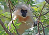 """We see only a few mammals during a Bhutan trip. Fortunately, one of them has always been the spectacular, nearly endemic Golden Langur, one of the """"leaf monkeys,"""" an Asian group of vegetarian monkeys. <div id=""""caption_tourlink"""" align=""""right""""><br>[photo © guide Richard Webster]</div>"""