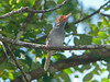 """As we ascend to the lowest platform, we could have eye-level looks at a singing Ashy Tailorbird... <div id=""""caption_tourlink"""" align=""""right""""> [photo © David & Judy Smith]</div>"""
