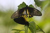 """Here, too, big Common Birdwing butterflies (Trioides helena) are more common, this pair copulating. <div id=""""caption_tourlink"""" align=""""right""""> [photo © guide Richard Webster]</div>"""