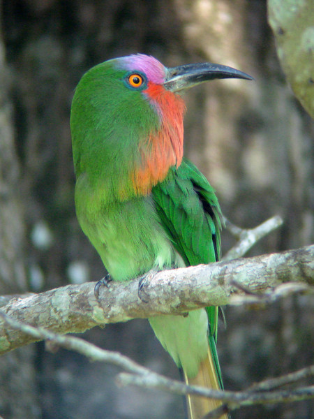 """It's from canopy towers and walkways--precious windows into a different world--that we have our best chances for marvelous views of many canopy and subcanopy dwellers, such as this striking Red-bearded Bee-eater. <div id=""""caption_tourlink"""" align=""""right""""> [photo © guide Rose Ann Rowlett]</div>"""