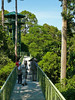 "Our first birding stop will be at nearby Sepilok Rainforest Discovery Center, the main draw of which is a fabulous canopy walkway--one of the sturdiest ever built! <div id=""caption_tourlink"" align=""right""> [photo © David & Judy Smith]</div>"