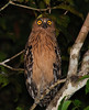 "Speaking of hunting along the banks, this Buffy Fish-Owl is a floodplain specialist that we could see before we leave the Kinabatangan. <div id=""caption_tourlink"" align=""right""> [photo © Johnny Powell]</div>"