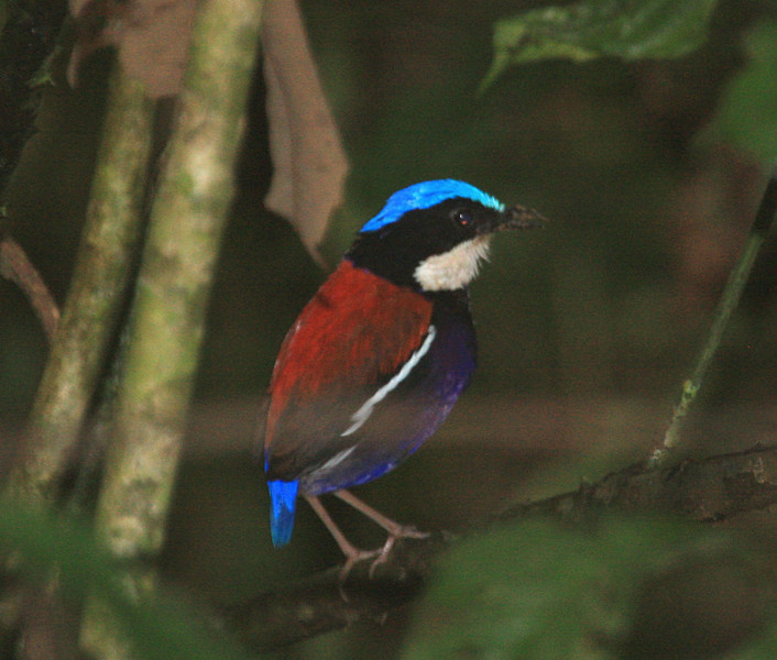 If it's too sunny along the road, we'll enter the (sometimes muddy) forest trails in search of such wonders as this lovely Blue-headed Pitta, one of the five species of pittas we saw on our 2009 tour.  This one has been digging in the mud.