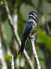 """The striking Whiskered Treeswift is constantly turning its head from side to side--and almost 180 degrees in each direction!  We can watch them from the canopy walkway and from the dining room as well. <div id=""""caption_tourlink"""" align=""""right""""> [photo © David & Judy Smith]</div>"""