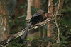 """This Bornean Treepie has found the practice worthwhile! <div id=""""caption_tourlink"""" align=""""right""""> [photo © guide Richard Webster]</div>"""