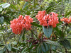 "That usually takes us past blooming rhododendrons, a dozen or so species of which are endemic to Kinabalu and the neighboring mountains.  The flora here is mostly of temperate affinities. <div id=""caption_tourlink"" align=""right""> [photo © guide Rose Ann Rowlett]</div>"
