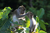 "Distinguished as the only place in the world where 10 species of primates occur together, the Kinabatangan is well known for its mammal diversity.  These Long-tailed (or Crab-eating) Macaques are quite common. <div id=""caption_tourlink"" align=""right""> [photo © guide Richard Webster]</div>"