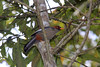 """So is the Chestnut-capped Laughingthrush, the Bornean races of which are elevated to full-species status and called Chestnut-hooded Laughingthrush, Rhinocichla treacheri, by some authorities. <div id=""""caption_tourlink"""" align=""""right""""> [photo © guide Richard Webster]</div>"""
