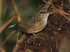 """We're likely to find this very vocal Mountain Wren-Babbler in the early stretch of the trail.  We plan to go only as far as our first Friendly Bush-Warbler, also a Bornean endemic, and one that's restricted to only the highest mountains of Sabah. <div id=""""caption_tourlink"""" align=""""right""""> [photo © guide Richard Webster]</div>"""