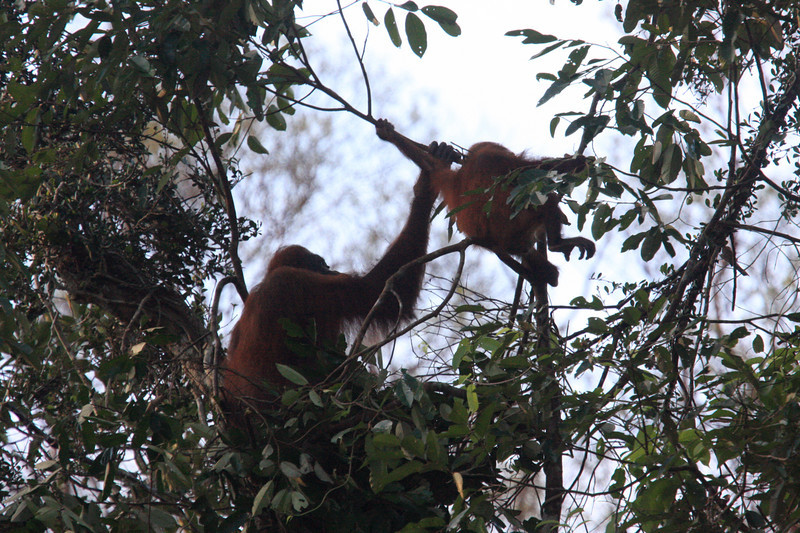 "This young Orangutan plays as its mother begins construction of their roost for the night.  The old roosting platforms or ""nests,"" loosely constructed of bent branches and used only once, persist for awhile and can be seen scattered throughout the forest. <div id=""caption_tourlink"" align=""right""> [photo © guide Richard Webster]</div>"