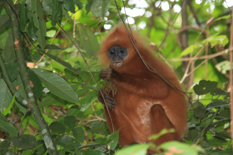 """Herbivorous Maroon Langurs, also called Red Leaf Monkeys, forage at the edge of the road. <div id=""""caption_tourlink"""" align=""""right""""> [photo © guide Richard Webster]</div>"""