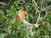 """But the Kinabatangan is most famous as home to Sabah's largest population of the Endangered Proboscis Monkey, an extraordinary primate endemic to Borneo.  The male's large nose is thought to attract females and to increase the resonance of its warning calls. <div id=""""caption_tourlink"""" align=""""right""""> [photo © David & Judy Smith]</div>"""