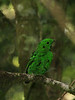 """Another scarce montane endemic, this big Whitehead's Broadbill could come into the same fruiting tree. <div id=""""caption_tourlink"""" align=""""right""""> [photo © guide Richard Webster]</div>"""