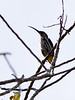 """Whitehead's Spiderhunter, which is generally considered the toughest of the """"Whitehead's trio"""" of montane endemics, is yet another possibility at these lower-montane elevations.  The Whitehead's trio is also possible at Gunung (Mt.) Kinabalu. <div id=""""caption_tourlink"""" align=""""right""""> [photo © Marcel Holyoak]</div>"""