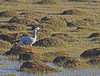 Bar-headed Goose are a regular sight. (Photo by participant Jeff Robinson)