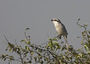 ...as well as the endemic Chinese Gray Shrike...  (Photo by participant Jeff Robinson)