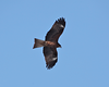 Black Kite by participant Gil Ewing