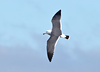 Black-tailed Gull by participant Gil Ewing