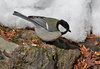 Japanese Tit by participant Gil Ewing
