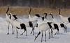 Red-crowned Cranes by participant Bernie Grossman