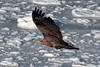 White-tailed Eagle by participant Gil Ewing