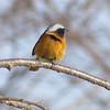 Daurian Redstart male at Saku (Photo by guide Phil Gregory)