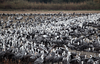 Hooded Cranes by participant Gil Ewing