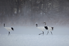 Red-crowned Cranes by participant Gil Ewing