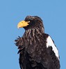 Steller's Sea-Eagle by participant Gil Ewing