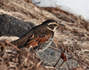 Dusky Thrush by participant Gil Ewing