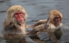 Japanese Macaques by participant Gil Ewing