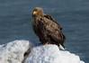 White-tailed Eagle by participant Bernie Grossman