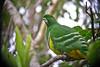 "Cloven-feathered Dove  <div id=""caption_tourlink"" align=""right""> [photo © participant Paul Thomas]</div>"