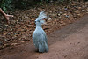 """Kagu: threat display, Riviere Bleue <div id=""""caption_tourlink"""" align=""""right""""> [photo © guide Phil Gregory]</div>"""